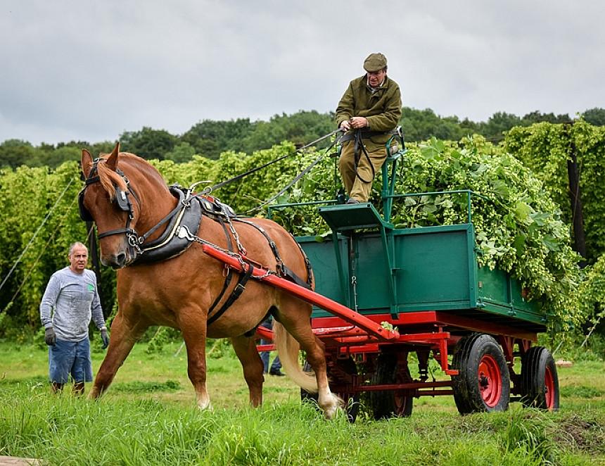 Hogs Back's bumper hop harvest